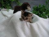 Chatons Abyssins à réserver