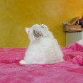 Chatonne Highland Straight seal point tortie et blanc