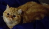Adorable Exotic Shorthair mâle roux blotched tabby et blanc