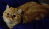 Adorable Exotic Shorthair mâle roux blotched tabby et blanc