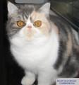 Superbe femelle Exotic Shorthair blue tortie et blanc