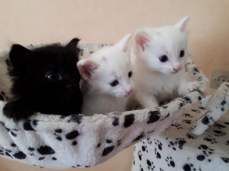 Vend 3 chatons Angora Turc - 2 mâles & 1 femelle
