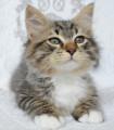 Petit chaton Sibérien à réserver