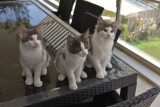 Vend 3 chatons Maine Coon