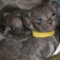 Cinq magnifiques chatons de race Korat LOOF