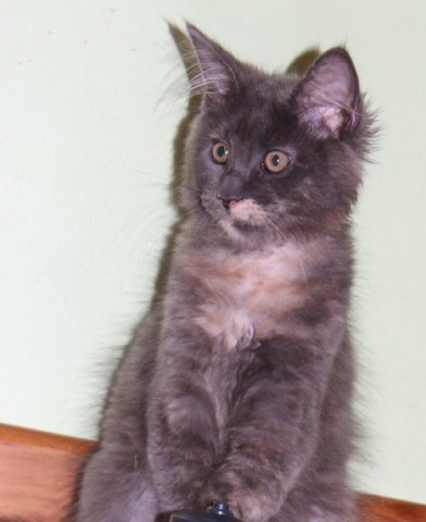 Vend 2 chatons Maine Coon - 1 mâle & 1 femelle