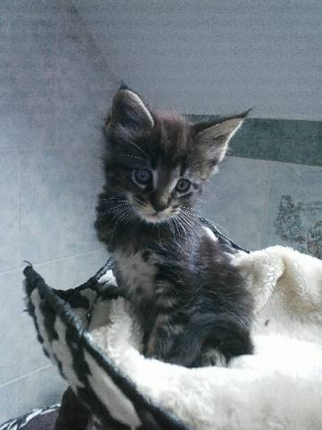 Chatons D Apparence Maine Coon A Vendre Petite Annonce Chat