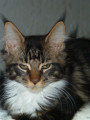 Chatons Maine Coon LOOF disponible de suite