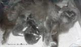 4 chatons Nébelung à réserver