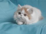 Chaton Persan femelle roux & blanc van à vendre