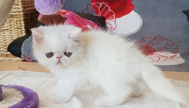 Chatons Persans et Exotics Shorthairs LOOF à vendre