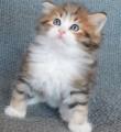 Petits chatons Sibériens à vendre