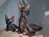 A placer trois chatons Cornish Rex