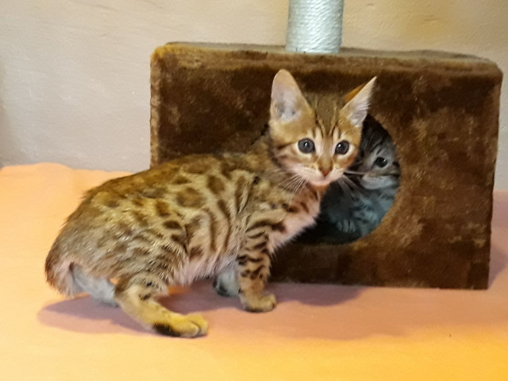 4 chatons Bengal à vendre (3 Femelles & 1 Mâle)