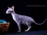 Chatons Peterbalds disponibles