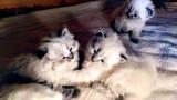 Chatons Sibériens LOOF neva