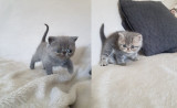 Chatons Exotic shorthair LOOF à vendre