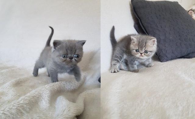 chatons mâles exotic shorthair