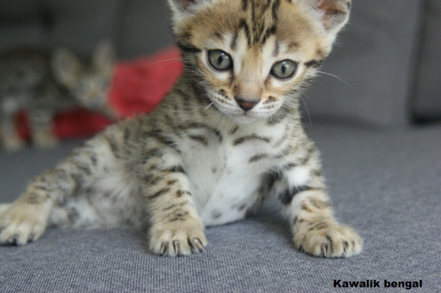 femelle bengal brown spotted