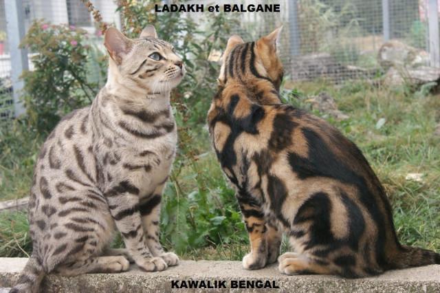 LADAKH et BALGANE, deux mâle bengal adulte castrés