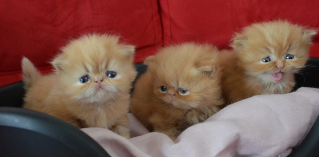 Vend 3 chatons Persans
