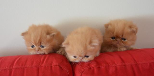 Vend 5 chatons Persans - 3 mâles & 2 femelles