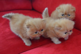 Vend 3 chatons Persans