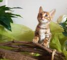 2 chatons Bengal LOOF à vendre