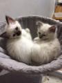 Vend 2 chatons Sacré de Birmanie