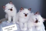 Magnifiques chatons Sacrés de Birmanie LOOF à vendre
