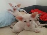 Vend 3 chatons Siamois moderne - 2 mâles & 1 femelle
