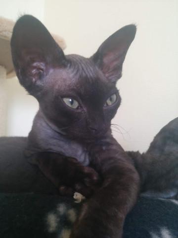 Onyx, femelle noire