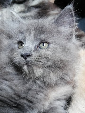 chaton Maine Coon femelle à vendre