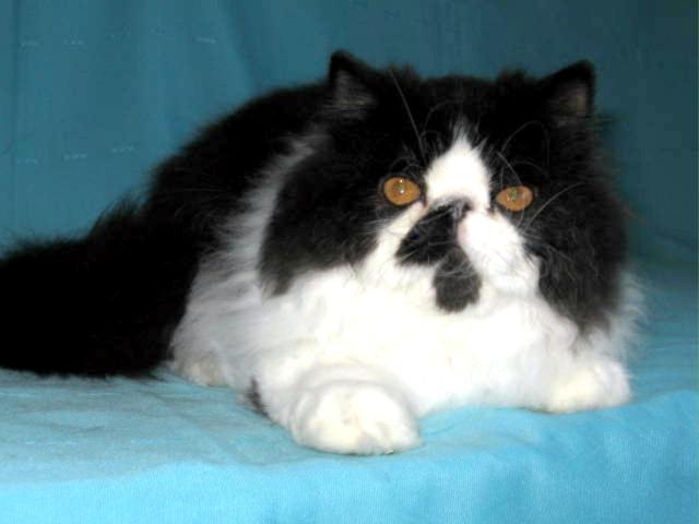 Superbe chaton Persan mâle noir et blanc LOOF à vendre