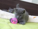 Adorables chatons Chartreux LOOF à vendre