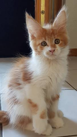 2 Chatons Maine Coon A Vendre 2 Males Petite Annonce Chat