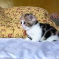 2 chatons LOOF Scottish Straight / British Shorthair à vendre