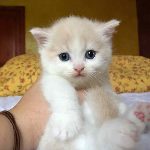 2 chatons LOOF Scottish Straight / British Shorthair à vendre