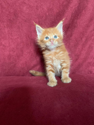 Superbes chatons Maine Coon LOOF à vendre