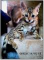 Chaton Bengal mâle LOOF né le 27/06/18