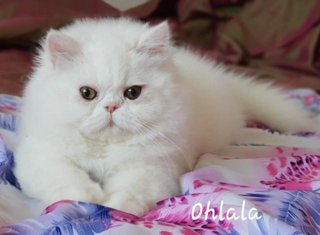 Chatons Persans blanc femelle LOOF à vendre