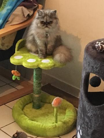 Vend un chat Persan