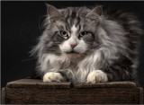Chatons Maine Coon LOOF bleus