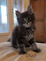Vend 6 chatons Maine Coon - 4 mâles & 2 femelles