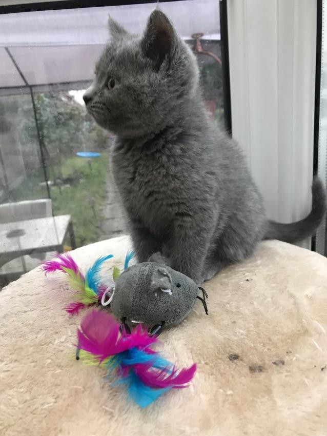 3 magnifiques chatons British Shorthair à réserver pour Noël