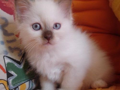 chatons sacré de birmanie à donner