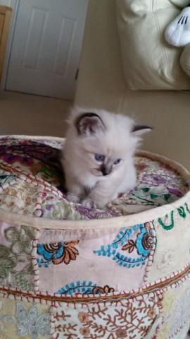 Magnifique chatons sacré de birmanie