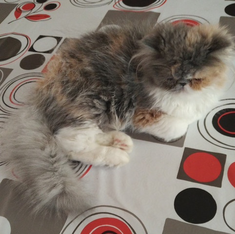 chaton Persan femelle à vendre