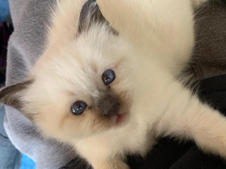 2 magnifiques chatons nés à la chatterie