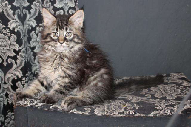 3 chatons Maine Coon à vendre (3 Femelles)